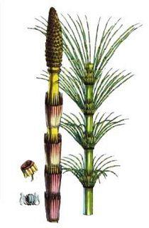 planta cola de caballo