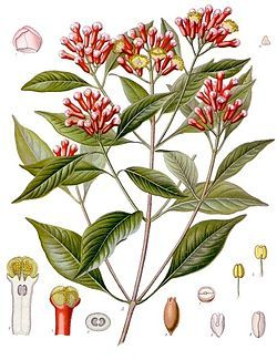 planta medicinal clavo de olor