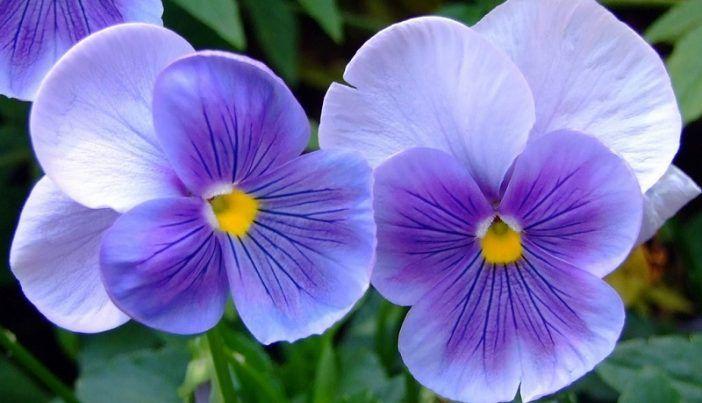 aceite esencial de violeta