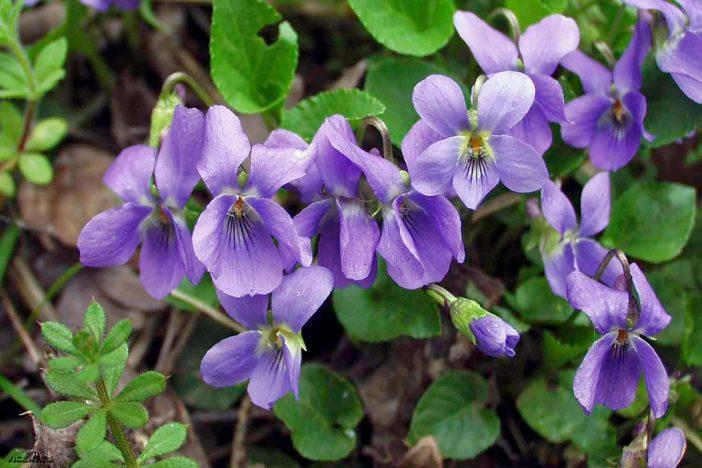 beneficios aceite de violeta