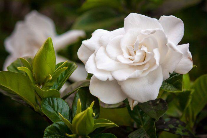 propiedades aceite de gardenia