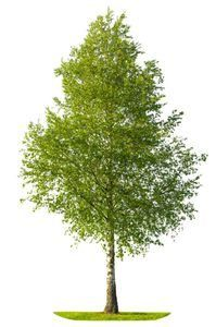 árbol abedul