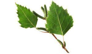 hojas abedul