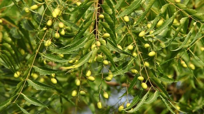 aceite esencial de neem